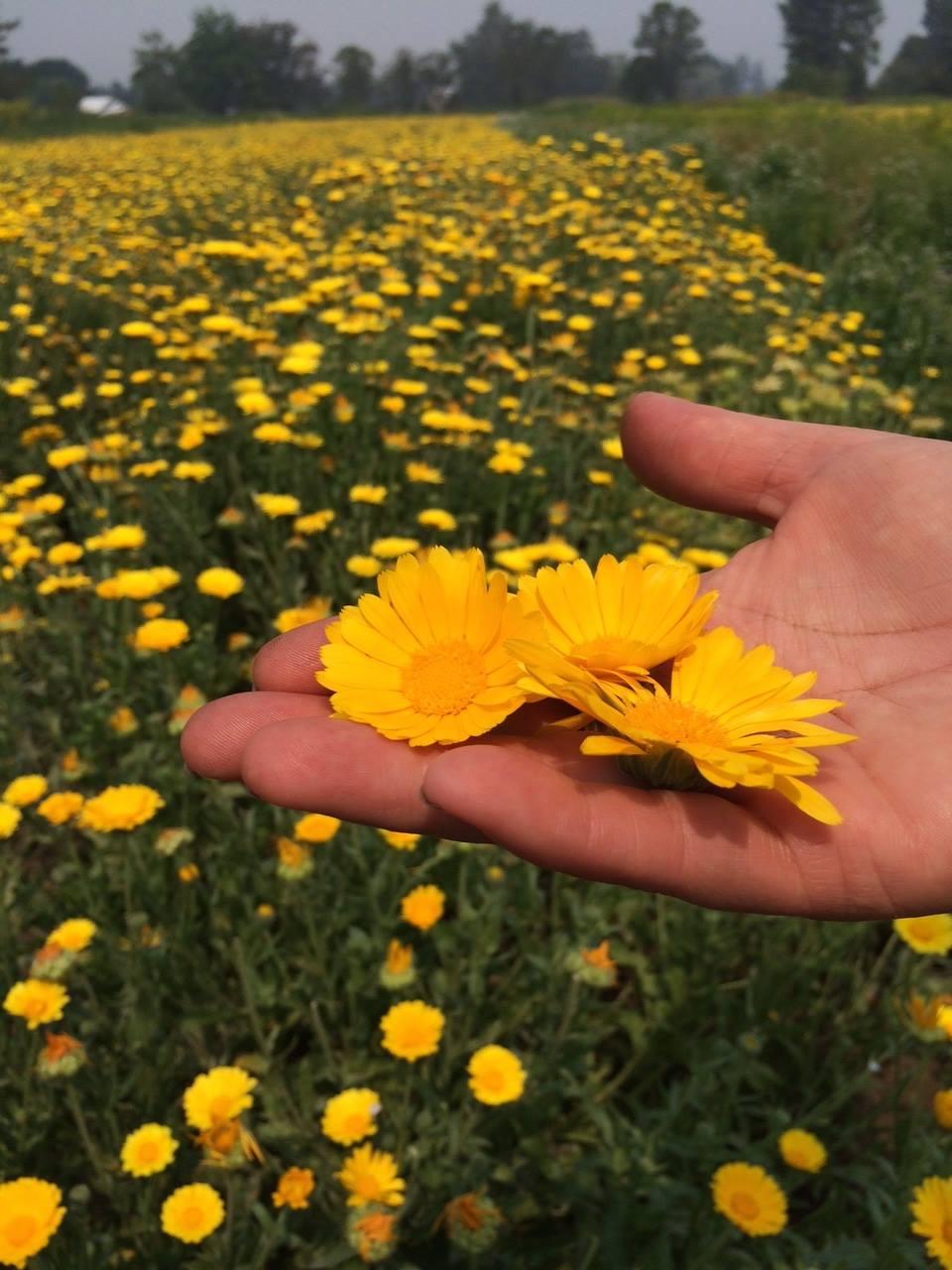 Farmer's hand holding flowers