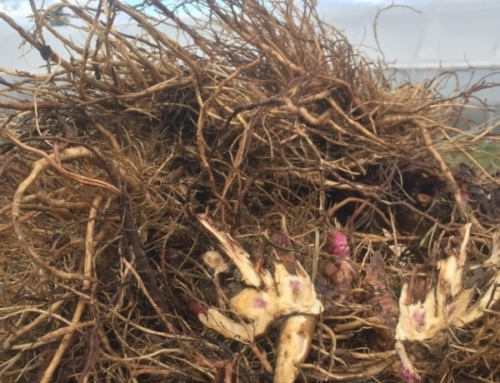 Harvesting Immunity: Building Resilience While Harvesting Echinacea Roots