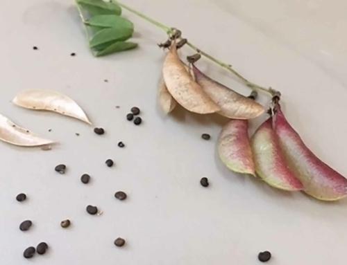 Saving Seed Ensures a Healthy Future